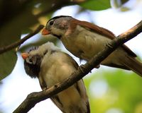 白发Parrotbill爱生活 免版税库存照片