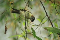 白发parrotbill 库存照片