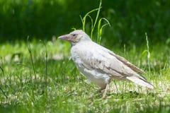 白变种乌鸦在公园 库存照片