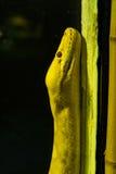 白变种大蟒蛇 免版税库存图片