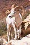 白变种大角羊公羊绵羊 库存照片