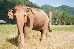 白变种大象 免版税库存图片