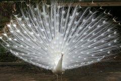 白变种孔雀 库存照片