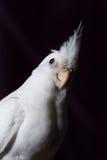 白变种小形鹦鹉画象 图库摄影