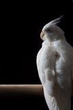 白变种小形鹦鹉 免版税库存照片