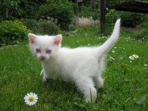 白变种小猫 免版税库存图片