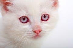 白变种小猫 免版税库存照片