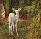 白变种小鹿 库存照片
