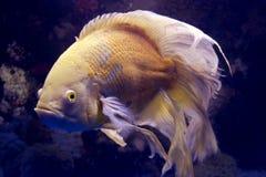 白变种有鳍的鱼长的奥斯卡 库存照片