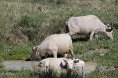 白变种水牛 免版税库存照片