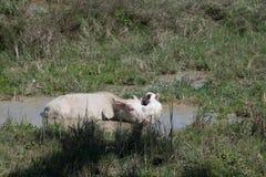 白变种水牛 库存照片
