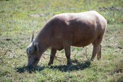 白变种水牛 库存图片