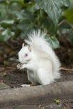 白变种灰鼠 免版税库存图片