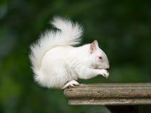 白变种灰鼠 免版税库存照片