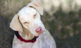白变种狗 免版税库存照片