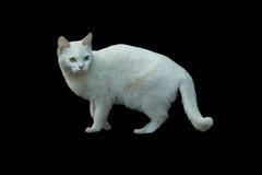 白变种猫 免版税库存照片
