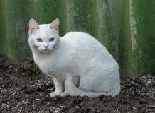 白变种猫 图库摄影