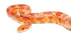 白变种玉米蛇 库存图片