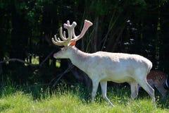 白变种白色鹿 免版税库存图片