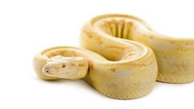 白变种皇家Python 免版税库存照片