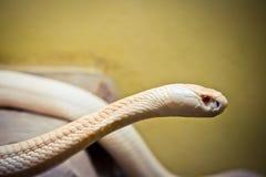 白变种眼镜王蛇是红色眼睛 免版税库存照片