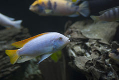 白变种红鳍淡水鱼斑马非洲人丽鱼科鱼 库存图片