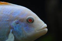 白变种红鳍淡水鱼斑马非洲人丽鱼科鱼 免版税图库摄影
