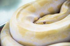 白变种缅甸Python金黄泰国Python金Python,蜂巢胃 免版税库存照片