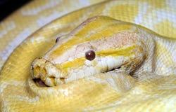 白变种老虎Python 免版税库存照片