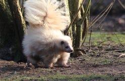 白变种臭鼬戒备 库存照片