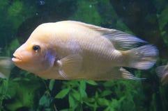 白变种花垫铁鱼 免版税图库摄影