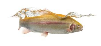 白变种虹鳟游泳,被隔绝 免版税库存照片