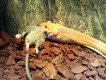 白变种蛇吃一只老鼠 图库摄影