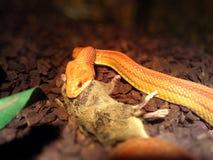 白变种蛇吃一只老鼠 库存图片