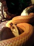 白变种蛇吃一只老鼠 免版税库存照片