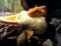 白变种蛇吃一只老鼠 免版税图库摄影