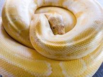 白变种蛇,卷曲的黄色蛇 免版税库存照片