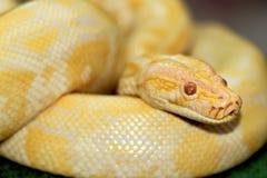 白变种蟒蛇constricto 库存照片