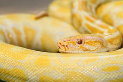 白变种蟒蛇constricto 库存图片
