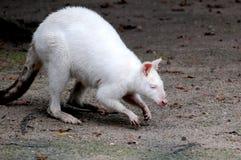 白变种袋鼠 库存图片