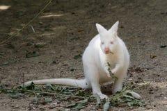 白变种袋鼠 免版税库存图片