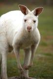 白变种袋鼠 库存照片