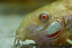 白变种装甲的鲶鱼 库存图片