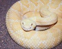 白变种西部菱纹背响尾蛇响尾蛇,响尾蛇atrox 免版税库存图片