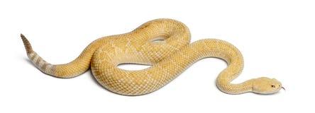 白变种西部菱纹背响尾蛇的响尾蛇 免版税库存照片