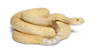 白变种西部菱纹背响尾蛇的响尾蛇 免版税库存图片