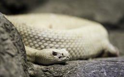 白变种西部菱纹背响尾蛇的响尾蛇 免版税图库摄影