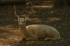 白变种雄鹿Foxovsky 免版税库存照片