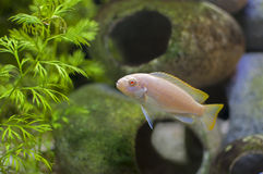 白变种非洲丽鱼科鱼热带鱼 库存图片