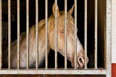 白变种马在槽枥 库存照片